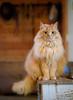 Nisse ([ Jaso ]) Tags: barncat cat animal portrait wood nikon d750 table bokeh depthoffield