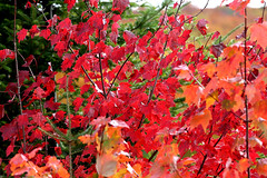 20170110_canada_trees_leaves_778c9 (isogood) Tags: monttremblant quebec canada laurentides forest indiansummer trees colors fall autumn red yellow leaves