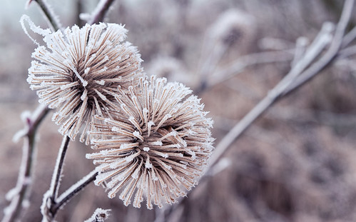 Frosty thistle
