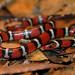 Scarlet King Snake (Lampropeltis elapsoides)