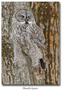 Chouette lapone / Great Gray Owl 153A7590