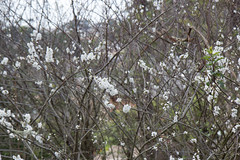 IMG_7864 (armadil) Tags: plum plumtree plumtrees flower flowers plumflowers