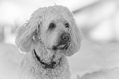 Lucie (Exdeltalady) Tags: goldendoodle dog golden poodle bw outdoor canine pet animalportrait tamron70300