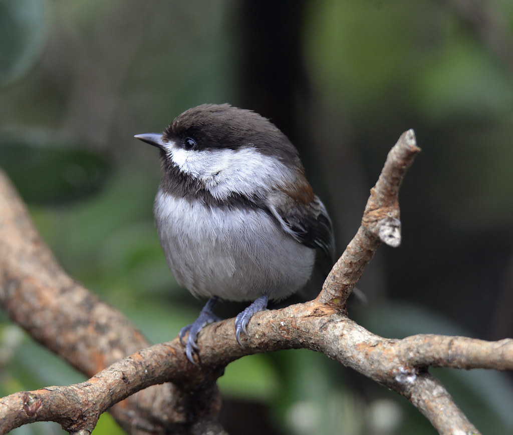 the world s newest photos by doug greenberg flickr hive mind chestnut backed chickadee doug greenberg tags