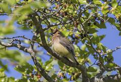 Ceder Waxwing fluffy (Binfocus) Tags: bird waxwing ceder