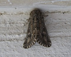 Eremopola lenis (Costan E) Tags: lepidoptera noctuidae lenis eremopola
