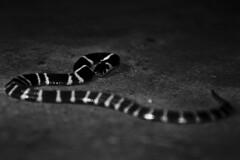 Common Krait (santoshrajus) Tags: blackandwhite snake venomoussnake krait commonkrait snakesofindia
