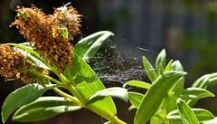 City of Lights (benn.clarke) Tags: flowers light macro closeup nikon spiders insects spiderwebs beautifulearth reflectionoflight