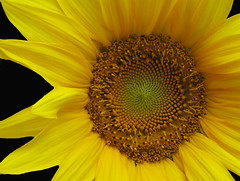 """Mathematics on Main Street"" by My Lovely Wife (Puzzler4879) Tags: sunflower pointandshoot mathematics canonpowershot flowermacro fibonaccispiral canonaseries strasburgpa canonphotography mathinnature canonpointandshoot flowercenters sunflowermacro a580 canona580 canonpowershota580 powershota580 lancastertripjuly2015andlocalflowers"
