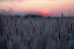 le or - l l (c-or^^) Tags: bokeh 55mm 12 openaperture wheatfield hren weizenfeld vintagelens abendstunde wheatears pentaxk5ii 20150715imgp6259