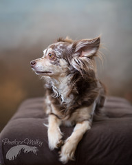 Feeling dreamy. (Penelope Malby Photography) Tags: dog brown chihuahua studio photographer surrey smalldog oil impressionist oldmaster dapple dogphotography dogportrait surreyphotographer handbagdog dogstudiophotography penelopemalbyphotography