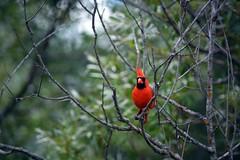 Cardinal 2 (Braden Bygrave) Tags: park red canada tree bird nature nikon riverside cardinal bokeh like fave nikonphotography d7100 55300mm nikond7100