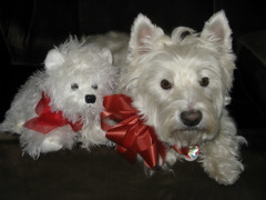 """12/12B ~ Riley & """"Little Riley"""" (ellenc995) Tags: riley westie westhighlandwhiteterrier 12monthsfordogs16 rubyphotographer thesunshinegroup coth alittlebeauty surays5 coth5 supershot challengeclub abigfave 100commentgroup ruby5 ruby10"""
