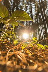 Wood Of Light (Daniele Pauletto) Tags: woods bosco trees pines nature light sun sunset dpphotography