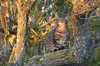 King in the trees (dfromonteil) Tags: cat chat katze félin felino animal arbre tree branche branch sunrise rayon soleil matin morning quiet moment warming nature light lumière brilliant