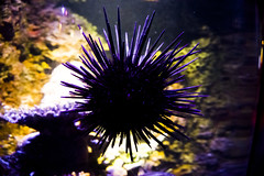 Melbourne Aquarium (proper dave) Tags: sea urchin aquarium ocean melbourne