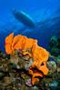 Elephant Ear Sponge with Dive Boat (SWD-Photography) Tags: cfwa diveboat grandcayman underwater scuba orange sponge
