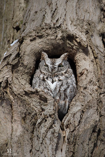 Petit-duc maculé - Eastern screech owl  - Megascops asio