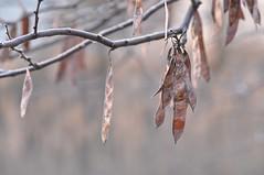 freeze dried (ladybugdiscovery) Tags: seedpods pods seeds macro bokeh redbud freeze dried tree