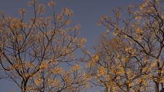 Kamo-gawa River Side Trees (eefzed) Tags: nature kamogawa kamo kamoriver trees river blue sky bluesky cloud japan kyoto 日本 京都 鴨川 carlzeiss carlzeisss contax cy carlzeisscy carlzeisscontaxcy contaxczy zeisscontaxcy distagon2835 distagonpc3528cy contaxpc3528cy zeisscontaxpc3528cy