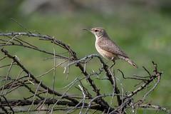 Rock Wren (halladaybill) Tags: rockwren uppernewportbay birds wren orangecounty newportbayconservancy animal nikond500 nikkor80400zoomlens nikondslr