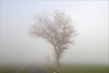 The scrambled tree (Steff Photographie) Tags: fog nature brouillard campagne country espace arbre froid hiver vision brouillée tree winter minimalisme landscape