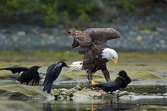 Dining on a fish. (Blingsister) Tags: americanbaldeagle baldeagleandfourcrows eagle eagleadultmale blingsister melanieleesonwildlifephotography canon7dmarkii canonef100400mmf4556lisiiusm14xiii northernvancouverisland wow