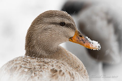 Leucistic Mallard Hen (lucasfotodotcom) Tags: wildlifephotography wildlifephotographer naturepics naturephotography naturelover natureperfection allnatureshots wildlifephoto thegreatoutdoors in2nature natureaddict naturelovers getoutside nikonusa nikonnofilter nikkor200500 nikon nature photography nikond610 d610 dslr nikkor 200500mm f56e ed vr mammals wildlife outdoor david lucas lucasfoto leucistic mallard duck animal hen