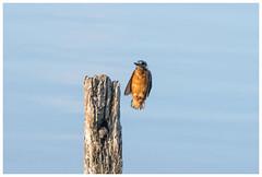 Coming In To Land. (vegetus aer) Tags: ramseyheights greatfen greatfenproject wildlifetrust bcnwildlifetrust nnr cambridgeshire wildlife kingfisher