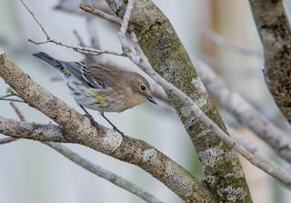 Yellow Rumped Warbler - Explored 1-15-17