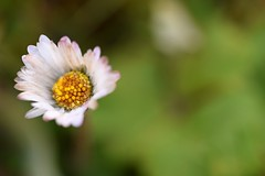 Winter daisy... (Maria Godfrida) Tags: nature seasons summer winter daisy flowers white small faded wilted withered green bokeh closeup macro 7dwf garden