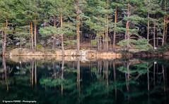 Pinus sylvestris (Ignacio Ferre) Tags: pino pinussylvestris scotspine pine españa spain madrid bosque forest agua water sierradeguadarrama reflejo reflection nikon landscape paisaje navacerrada labarranca pinosilvestre pinorojo airelibre