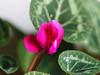 Dezember 2016 fiolek kwiat (arjuna_zbycho) Tags: blume flower kwiat badenbeiwien