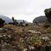 Riesensenezien (Riesenkreuzkraut) - Dendrosenecio kilimanjari 'Senecio kilimanjari' - 2. Tag Aufstieg zum Barranco Camp (3.900 m) - Kilimanjaro