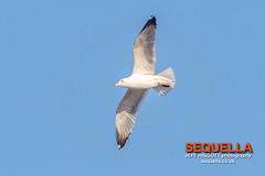 Yellow-legged Gull (Jeff Higgott (Sequella.co.uk) - 2 million views!) Tags: jeffhiggottphotography jeffhiggott sequella bird