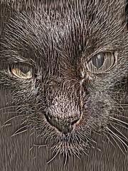 Wired Assam (sjrankin) Tags: 29january2017 edited processed filtered california northerncalifornia closeup animal cat assam metalfence