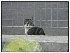 gatto dietro la griglia (pratolina 17 ❀) Tags: gatto gatti felini animali fauna