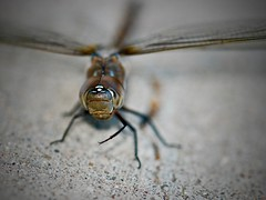 Dragonfly:  a.k.a. Toothed One or Sky Hunter (Ginger H Robinson) Tags: dragonfly odonata toothedone skyhunter anisoptera transparentwings forewings broadhindwings largeeyes multifacetedeyes compoundeyes exceptional vision ommatidia iridescent metallic fastflier agileflier vtol hover stealthfighter ferocious predator sharpmandibles jaws colorado macro insect nature outdoors