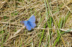 Averdon (Loir-et-Cher) (sybarite48) Tags: blue france azul butterfly blauw blu bleu papillon borboleta blau mariposa niebieski  mavi farfalla argus schmetterling vlinder  loiretcher kelebek    motyl    chalkhillblue   averdon silbergrnerbluling