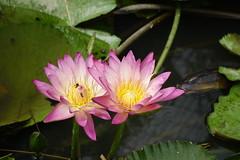 Water lily (ddsnet) Tags: plant waterlily sony taiwan cybershot   taoyuan aquaticplants       rx10    nymphaeatetragona