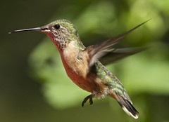 Female Calliope Hummingbird (ebeckes) Tags: femalecalliopehummingbird eugenebeckes