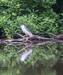 Unknown Bird (183/365) (aka Buddy) Tags: park county summer reflection bird pond nj system og locust day183 2015 hartshorne day183365 365the2015edition 3652015 2jul15 woodsmonmouth