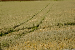 Champ de bl / Corn field (Saint-Epain - France) (christian_lemale) Tags: france nature field corn outdoor wheat extrieur champ bl touraine saintepain