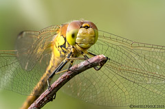 Common Darter detail. (Crazybittern1) Tags: commondarter sigma70300mmmacro nikond7100