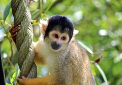 Looking innocent (Linzse) Tags: park sleeping wild summer baby brown black cute green eye animal animals yellow denmark outside zoo monkey eyes little outdoor mini rope cutie sleepy tired tiny danish primate squrrel scull ree ddningehoved reepark squrrelmonkey ddningehovedabe
