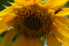 A Bug's Life (TPorter2006) Tags: brown flower field yellow golden texas july sunflower hillsboro 2015 aquilla tporter2006