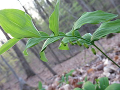 NPS Brecksville 5-6-15 017 (fcom4155) Tags: ohio plant native society northeastern npsbrecksville5615 nativeplantsocietyofnortheasternohio
