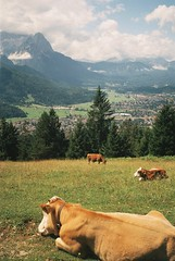 Alpen-Idylle I (szmenazsfi) Tags: mountain alps analog cows hiking meadow alpine analogue alpen garmisch smena garmischpartenkirchen smenasymbol zugspitze apline cowherd bavarianalps germanalps bayerischealpen szmenaszimbol