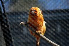 looking-edited (Brandywine Zoo) Tags: golden lion tamarins