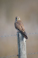 What ? (skees499 ) Tags: falcotinnunculus torenvalk roofvogel nederland netherlands biesbosch zh nature natuur vogel birding keesmolenaar nikon d500 aves ngc